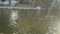 Beautiful Shot of Ducks Swimming Together Stock Footage