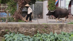 An old peasant woman in Asia with their cattle Stock Footage