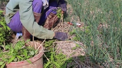 woman working in a field, weeding - stock footage