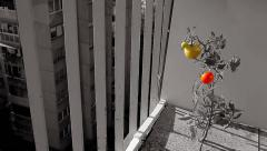 Tomato grown from seeds on terrace. Black, white, red, yellow, green. Pan right. Stock Footage