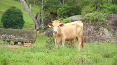 Cattle Cows - brown bull Stock Footage