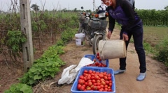Scope of the tomato farmers lam - stock footage