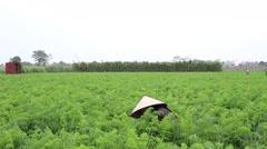 Carrot fields, farmers work Stock Footage