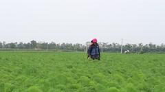 Carrot fields, farmers working in the fields Stock Footage