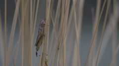 grasshopper on grass, evening, ecu - stock footage
