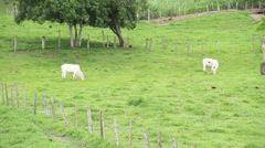Cattle Cows bull - green field Stock Footage