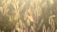 Pennisetum pedicellarum weed plant flower  in the wind Stock Footage