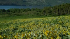 View of sunflower field in Saint Mary Lake Stock Footage