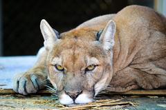 Florida panther stare Stock Photos