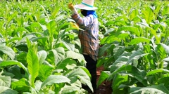 Thai woman put Insecticide and fertilizer in tobacco plant Stock Footage