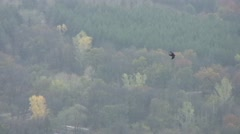Raven flying over the forest Stock Footage