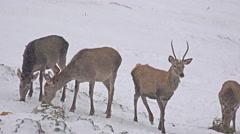 4k beautiful group of deer in wildlife, winter snow, male and female red deer Stock Footage