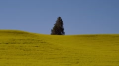 Fur tree in yellow mustard field at Palouse Stock Footage