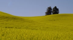 Fur tree in yellow mustard field Stock Footage