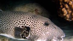 Porcupinefish or pufferfish in coral reef Stock Footage