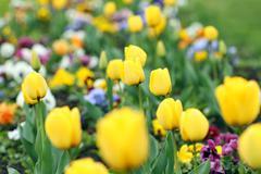 yellow tulip flower garden spring season - stock photo