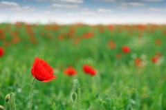 Stock Photo of red poppy flower field spring season