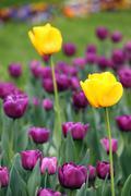 Tulip flower garden spring season Stock Photos