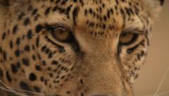 Leopard eyes Stock Footage