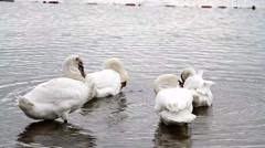White beautiful swans at the forest lake Stock Footage
