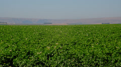 Potato field being irrigated with sprinkler system Stock Footage