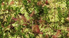 Sphagnum and Sundew, drosera rotundifolia  - close up + zoom out Stock Footage