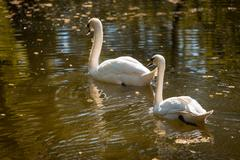 swan love. two swans on a background of water - stock photo
