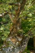 Bough of old willow tree Stock Photos