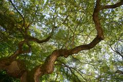 bough of old willow tree - stock photo