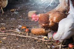 Traditional free range poultry farming Stock Photos