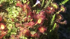 Sundew, drosera rotundifolia, a carnivorous plant  - close up + zoom out Stock Footage