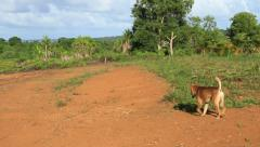Wild Dog in Open Field on Micronesian Island of Yap Stock Footage