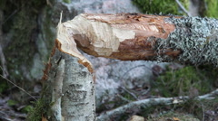 Five different trees beaver gnawed on Stock Footage