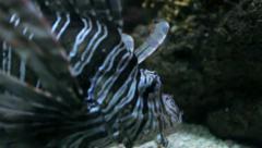Zebra Lionfish Stock Footage