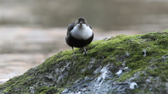 Dipper sitting on a rock and looking Stock Footage