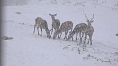 4k whitetail deer (odocoileus virginianus), buck on winter snow, uhd stock vi Stock Footage