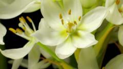 White (Ornithogalum sp.) flower Time-lapse Stock Footage