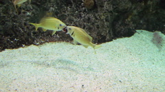 Tropical Fish Fighting Stock Footage