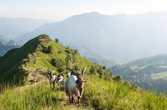 The pasture of the goat Stock Photos