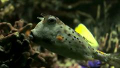 Longhorn Cowfish Stock Footage