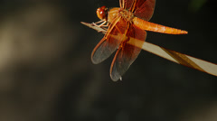 Red dragonfly in its natural habitat, Ashland - stock footage