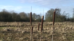 Stock Video Footage of Bull rushes