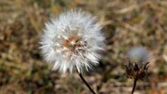 Autumn blowball Stock Footage