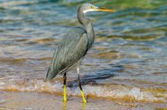 Little blue heron fishing. egipt Stock Photos
