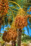 Tunisia, organic dates ripening on the palm tree in the tunisia sunshine. Stock Photos