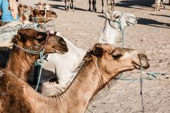 arabian camel or dromedary also called a one-humped camel in the sahara deser - stock photo