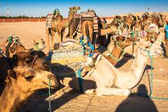 beduins leading tourists on camels at short tourist tour around the beginning - stock photo