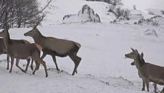 4k group of large whitetailed deer buck in an snow open meadow, uhd stock vid Stock Footage