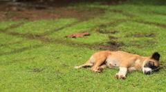 Sleeping Femal Dog on the Micronesian Island of Yap - stock footage