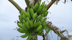 Banana on the tree Stock Footage